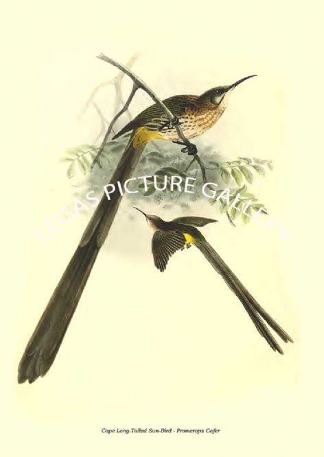 Fine art print of the Cape Long-Tailed Sun-Bird - Promerops Cafer by the artist Johannes Gerardus Keulemans (1876-1880)